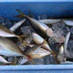 釣り初心者だけど大阪湾で釣った魚を食べてみた話(釣り編)