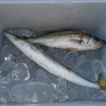 台風後の明石浦漁港に釣りに行ってきた日記(9月18日)